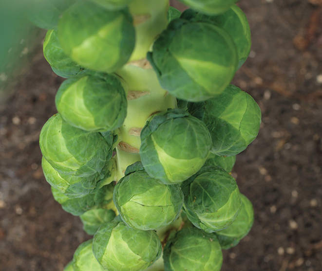 Brussels Sprouts Varieties | Syngenta US